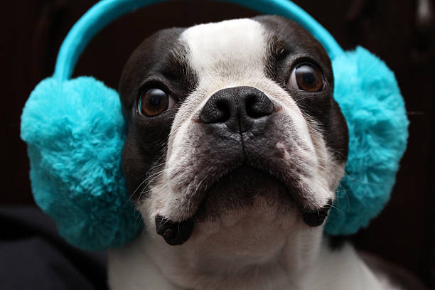 Hearing Protective Earmuffs for Your Dog